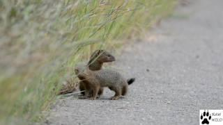 Very cute Slender Mongoose Family
