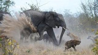 [Top 10 Dangerous Animal Attack]  Amazing Wild Animal Attacks #1 - Lion vs Elephant vs Hyena