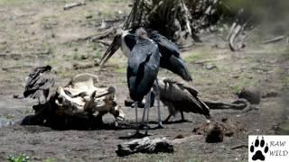 Vultures vs Maribou Stalk