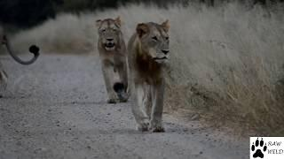 Young Lions walking with  purpose