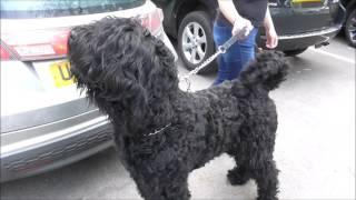 Meet friendly George, a rare black Russian Terrier